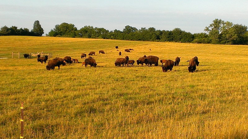 We at Buffalo Ridge are restoring bison to their proper habitat