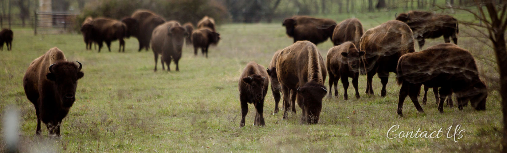 Buffalo Ridge Premium Bison Meat & Quality Breeding Stock